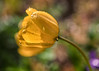 Tulip (mclcbooks) Tags: flower flowers floral macro closeup tulip tulips yellow spring bulbs drops rain dew denverbotanicgardens colorado