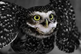 Wild baby Owl - Búho   180423-9624-jikatu
