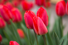 Tulips (iwona.kilichowska) Tags: tulips plants outside nature red closeup colour colours dof blur bokeh spring april