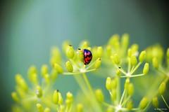 DSC05280 - 複製 (windcolor fan) Tags: dcr250 f60m c100l macro micro 蒼蠅 瓢蟲 fly ladybug insect ef100mm