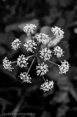 Delicate weed (judethedude73) Tags: creative set garden seasons outside beauty spring flower nature weeds