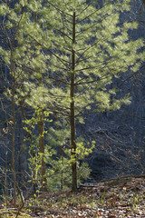 Sunlit Pine Tree (Matt0513) Tags: matt nemeth north park mccandless western pennsylvania pine tree forest woods rachel carson trail fujifilm xe1 60mm f24