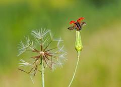 Ladybug And Dandelion (nuranaaba) Tags: ladybug flower red flight picture image closeup shot macro dandelion spore outdoor garden