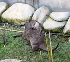 I love you (dan487175) Tags: otter giantotter hug fivesisterszoo scotland edinburgh grass mamal nikon d3300 tamron holiday zoo playing fur green fun funny rocks greengrass plants enclosure love family whitefur blackeyes cute tail bamboo loutre lontra wydra