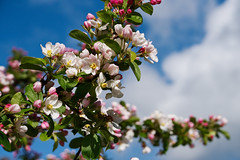 Crab Apple Blossom (nickcoates74) Tags: blossom spring sony a6300 ilce6300 55210mm sel55210 crabapple may lancashire eccleston chorley flower