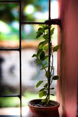 Save Trees (avipatra {Busy}) Tags: savegreen savetrees trees balcony tulsi colors india