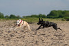 DSCF8454-2018.jpg (www.altglas-container.de) Tags: mix beach pointer pet dog hazel galgoespanol running ole hund