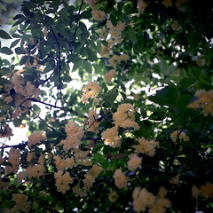 omiya113nc-film66 (yaplan) Tags: film 6×6 flower hasselblad planar japan memory