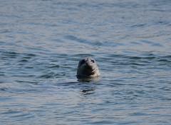 Harbour seal (D70) Tags: nikon d750 150600mm f563 ƒ63 6041mm 1640 180 burrardinlet vancouver britishcolumbia canada harbour seal