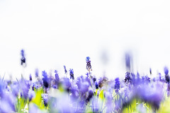 Blauwe druifjes (Henk Verheyen) Tags: nl nederland netherlands noordholland bloem bloembollen buiten lente outdoor spring annapaulowna blauwe druifjes flower blue puple