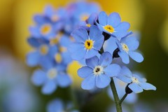 Blue Bliss (cattan2011) Tags: 英国 花 england staffordshire lichfieldcity macrophoto macrophotography traveltuesday travelphotography travelbloggers travel naturelovers natureperfection naturephotography nature macro wildflowers flowers