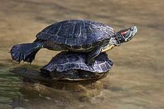 Que bem se está na praia! (Carlos Santos - Alapraia) Tags: tartaruga turtle animal natureza água