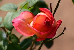 DSC_2357 (SHAN DUTTA) Tags: bud rose rosebud nikon garden flower fantasticflower