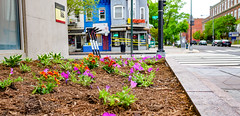 2018.05.06 Vermont Avenue, NW Garden - Work Party, Washington, DC USA 01863