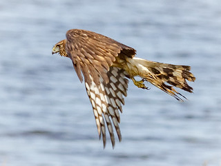 Wet and Disheveled Harrier