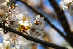 Let the Light in (jasohill) Tags: 2018 glow spring flowers tohoku blossom fierce iwate sakura photography sunset tree hachimantai pink matsuo life city fire cherry rain japan shidare