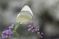 Butterfly 2018-21 (michaelramsdell1967) Tags: butterfly butterflies macro nature bokeh white purple animal animals insect insects beauty beautiful pretty lovely upclose closeup garden spring bug bugs wing wings delicate detail flower light moth wildlife zen