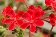 "Pelargonium Hybr. ""Selma"" (libra1054) Tags: pelargonium geranio pelargonie flowers flores fiori fleurs blumen flora closeup red rosso rojo rot rouge vermelho"