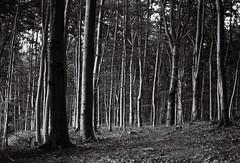 (kotmariusz) Tags: forest woods nature landscape trees monochrome blackandwhite monochromatic bw poland drzewa las natura monochrom analog 35mm filmphotography