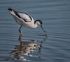 Avocet (Dexon123) Tags: avocet recurvirostra avosetta essex uk bird wildlife nature panasonic g9