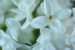 lilac (Frednik) Tags: lilac plant macro