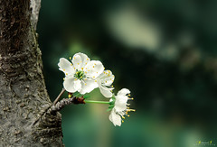 small bloom (aniribe) Tags: nikon color tree bloom leaves forest nature green spring closeup beauty naturephotos greatphotographers