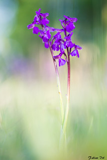IMG_8647 Essonne - Orchis bouffon - Anacamptis morio