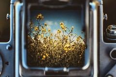 a day in May...18/52 (Jess Feldon) Tags: 52weeks challenge project pentaconsix throughtheviewfinder vintagecamera view viewfindercamera viewfinder rapeseed countryside yellow mellowyellow colourfusion scenery flowers jessfeldon lookslikefilm may spring