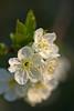 Cherry blossoms (pstenzel71) Tags: natur pflanzen cherry blossom kirsche kirschblüte flower blüte spring frühling darktable bokeh