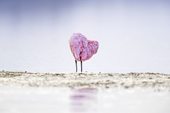 Spoony Heart (DTT67) Tags: heart mothersday roseatespoonbill pink spoonbill spoony bird florida sanibelisland dingdarlingnwr wadingbird wildlife nature nationalgeographic canon 1dxmkii