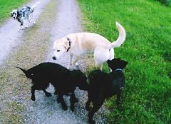 Hunde (BlytheGirl123) Tags: iva dog hund animal tier labrador retriver golden goldie