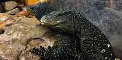 VS5 & VS7 MALE VARANUS SALVADORII (Tarantula Fan) Tags: male crocodile monitor lizards vs5 vs7 varanus salvadorii
