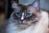 (Femme Peintre) Tags: katze cat tier animal blau