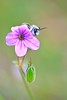 Flor e Abelha (jotneb) Tags: natureza nature bees flowers insects wildlife animals