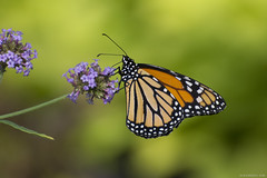 Butterfly 2018-25 (michaelramsdell1967) Tags: butterfly butterflies monarch monarchs nature macro animal animals insect insects green yellow orange bokeh beauty beautiful pretty lovely upclose closeup vivid vibrant fragile delicate bugs bug garden flower spring zen