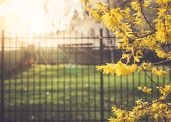 ~Throw your heart over the fence and the rest will follow. (Fire Fighter's Wife) Tags: happyfencefriday feelings fence hff spring colors yellow flowers blossoms sunny sun sunlight bright nikon walk adventure haze hazy sunday green grass yard afternoon softcolors softhues softhaze nikond750 nature 40mm faded fadedcolors fadedhues inviting