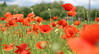 Fiori Ribelli (W@nderluster) Tags: papaveri fiori spring primavera printemps canon eos 50mm red flowers coquelicot poppy