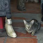 Cat in Cambodian shop thumbnail