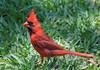 Cardinal (im2fast4u2c) Tags: cardinal sheldon lake state park