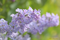 The scent of love... (Maria Godfrida) Tags: closeup nature springtime flowers lilac purple bokeh flora sidelit challengeonflickr florasidelit cof037 cof037dmnq cof037hole cof037ally cof037cg cof037cher cof037wern