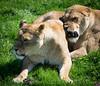 The heat is getting me a bit grrr (littlestschnauzer) Tags: lion lioness two pair ywp yorkshrie wildlife park grrrr hot bothered grumpy 2018 april females big cats uk visit