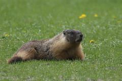 What a day for a daydream...  :) (Paridae) Tags: marmotsofmerritt marmotsofnicolalake animalsofthewestcoast afewofmyfavouritethings munckprovincialpark canoneos1dx monckprovincialpark