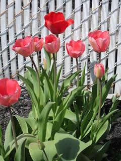 ** Le temps des tulipes **