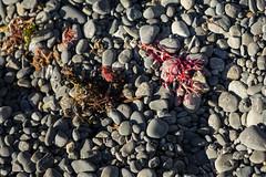 Pink seaweed (imajane) Tags: mg7889pinlseaweed beach 2018 janemonaghanphotography stones pink seaweed
