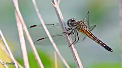 Brown Skimmer Dragonfly (Suzanham) Tags: macro dragonfly brownskimmer odonata bug insect reed mississippi skimmer wings bokeh noxubeewildliferefuge canonpowershotsx60hs