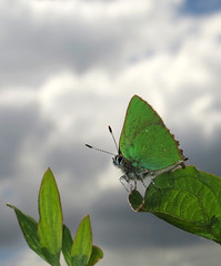 Green Hairstreak - Callophrys rubi (hippobosca) Tags: butterfly lepidoptera macro insect wiltshire lycaenidae hairstreak greenhairstreak callophrysrubi