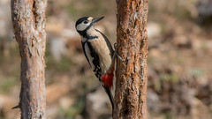 Great Spotted Woodpecker (keynowski) Tags: greatspottedwoodpecker ormanalacaağaçkakanı dendrocoposmajor nature ngc animalplanet animal wild wildlife ornithology ornito 70d canon70d 400mmf56l canonef400mmf56lusm 4k 2160p