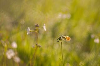 Anthocharis cardamines - Oranjetipje - Orange Tip Butterfly