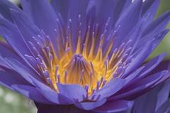 Flor de Lotus (mara.arantes) Tags: lotus flower macro flowers digital nikon petals pistils pistilos flor fiori closeup flickr brazil botanic garden jardim fleur blume botanical botanique ботанико floral natural natureza naturaleza