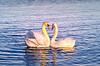 Harry and Meghan :-) (Sean X. Liu) Tags: bird toronto swan ontario canada heart love